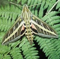 Caryl-bjg-Lepidopteran-5-moth